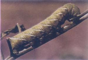 tobacco-worm